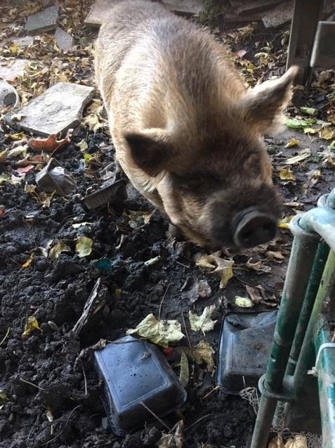 Surrey Comet: Pickle the Pig (Thames Water)