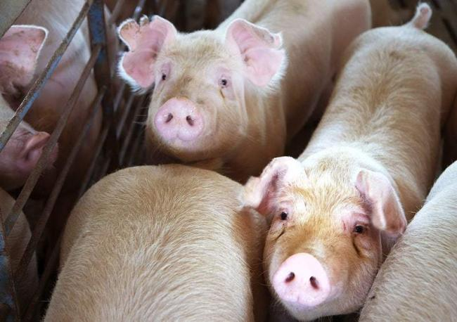 Four pigs and 54 chickens were seized from a property in Kingston Vale under the 2006 Animal Welfare Act. Image: rawpixel