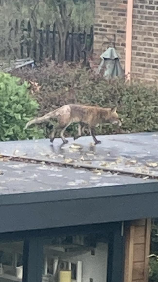 The healthiest of the fox cubs is seen here on 15/11/20 in a suburban garden, with its pale hind fur clearly visible