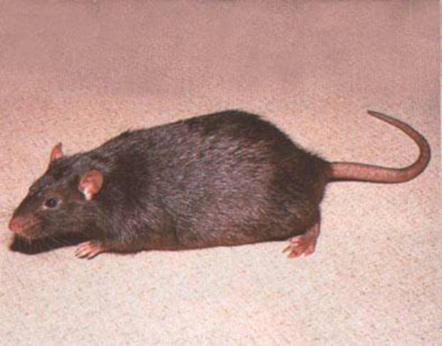 Surrey Comet: Pest controllers have been catching rats in Leatherhead and Ashtead