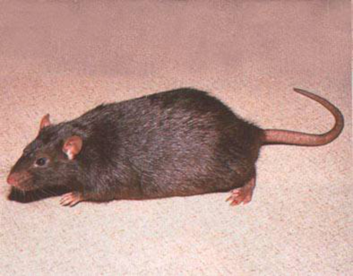 Pest controllers have been catching rats in Leatherhead and Ashtead