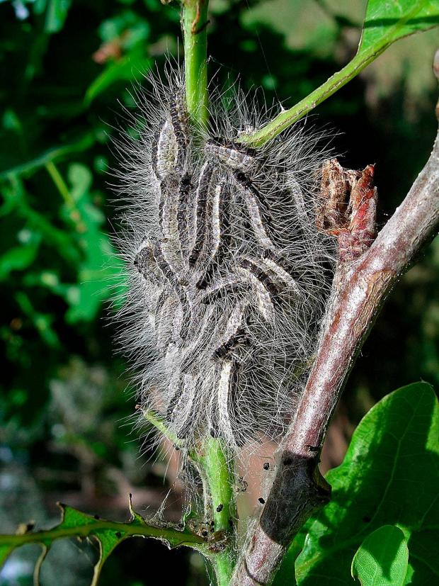 Surrey Comet: Oak processionary moth on a tree, (pic by Dave Williams)