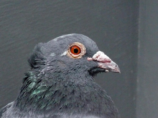 Kingston's pigeons are due to be culled