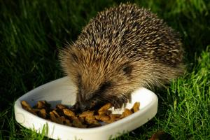 In 1950 the UK population was roughly 30 million, but fewer than one million hedgehogs are left and numbers continue to decline. Pic credit: Gillian Day